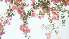 Λουλούδια εγγράφου Bougainvillea απόθεμα βίντεο