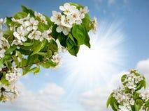 Λουλούδια ενός δέντρου της Apple στον ουρανό Στοκ Εικόνες