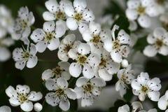 Λουλούδια ενός κοινού κραταίγου Στοκ Φωτογραφία