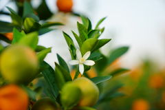 Λουλούδια ενός πορτοκαλιού δέντρου Στοκ φωτογραφία με δικαίωμα ελεύθερης χρήσης