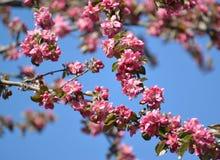 Λουλούδια ενός Apple-δέντρου του niedzwetzkyana Dieck Nedzvetsky Malus ενάντια στον ουρανό Στοκ φωτογραφίες με δικαίωμα ελεύθερης χρήσης