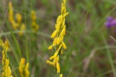 Λουλούδια ενός dyer tinctoria Genista σκουπών Στοκ εικόνα με δικαίωμα ελεύθερης χρήσης