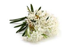 Λουλούδια ενός Ledum με τα φύλλα Στοκ φωτογραφία με δικαίωμα ελεύθερης χρήσης