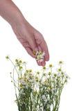 Λουλούδια επιλογών Wrker ιατρικές μαργαρίτες Στοκ φωτογραφία με δικαίωμα ελεύθερης χρήσης