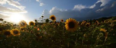 Λουλούδια ηλίανθων ενάντια σε έναν σκοτεινό ουρανό βραδιού Αναδρομικά φωτισμένος Στοκ εικόνα με δικαίωμα ελεύθερης χρήσης