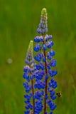 Λουλούδια θερινού ανθίζοντας μπλε lupine με μια μέλισσα Στοκ Φωτογραφίες
