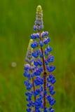 Λουλούδια θερινού ανθίζοντας μπλε lupine με bumblebee Στοκ φωτογραφία με δικαίωμα ελεύθερης χρήσης