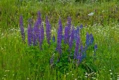 Λουλούδια θερινού ανθίζοντας μπλε lupine Στοκ Φωτογραφίες
