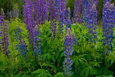 Λουλούδια θερινού ανθίζοντας μπλε lupine Στοκ φωτογραφία με δικαίωμα ελεύθερης χρήσης