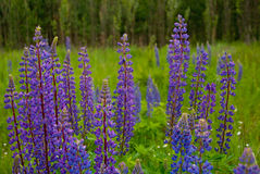 Λουλούδια θερινού ανθίζοντας μπλε lupine Στοκ εικόνα με δικαίωμα ελεύθερης χρήσης