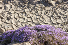 Λουλούδια θυμαριού Στοκ φωτογραφίες με δικαίωμα ελεύθερης χρήσης