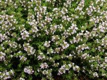 Λουλούδια θυμαριού στοκ φωτογραφίες