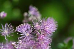 Λουλούδια λιβάδι-rue Columbine (aquilegiifolium Thalictrum) Στοκ εικόνα με δικαίωμα ελεύθερης χρήσης