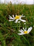 Λουλούδια λιβαδιών Στοκ Φωτογραφίες