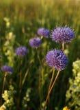 Λουλούδια λιβαδιών στοκ εικόνες