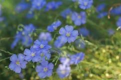 Λουλούδια λιναριού, μαλακή εστίαση Usitatissimum Linum Στοκ Φωτογραφίες