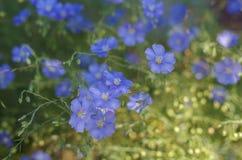 Λουλούδια λιναριού, μαλακή εστίαση Usitatissimum Linum Στοκ εικόνες με δικαίωμα ελεύθερης χρήσης