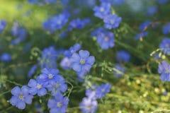 Λουλούδια λιναριού, μαλακή εστίαση Usitatissimum Linum Στοκ φωτογραφία με δικαίωμα ελεύθερης χρήσης