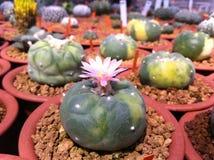 Λουλούδια κάκτων Στοκ Φωτογραφίες