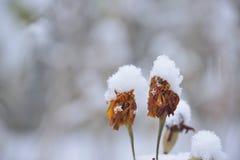 Λουλούδια κάτω από το πρώτο χιόνι Στοκ Εικόνες