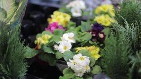 Λουλούδια κήπων στους κλάδους δοχείων και ιουνιπέρων όψη υψηλής διάλυσης eyedroppers κινηματογραφήσεων σε πρώτο πλάνο πολύ απόθεμα βίντεο