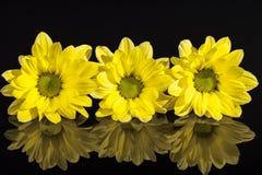 Λουλούδια κίτρινα marguerite & x28 Leucanthemum vulgare& x29  απομονωμένος στο μαύρο υπόβαθρο Στοκ Εικόνες