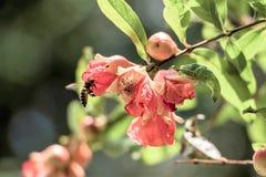 Λουλούδια και μέλισσα ροδιών στοκ εικόνες