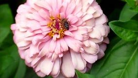 Λουλούδια και μέλισσα απόθεμα βίντεο