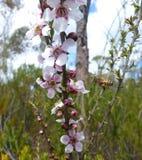 Λουλούδια και μέλισσες δέντρων τσαγιού Στοκ Φωτογραφίες