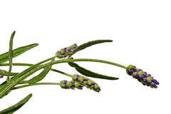 Λουλούδια και μίσχοι lavender Lavandula Angustifolia στο άσπρο υπόβαθρο Στοκ φωτογραφία με δικαίωμα ελεύθερης χρήσης