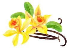 Λουλούδια και λοβοί βανίλιας Στοκ Φωτογραφία
