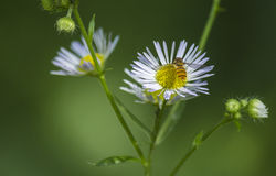 Λουλούδια και οι μέλισσες Στοκ φωτογραφίες με δικαίωμα ελεύθερης χρήσης