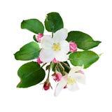 Λουλούδια και οφθαλμοί δέντρων της Apple Στοκ εικόνες με δικαίωμα ελεύθερης χρήσης