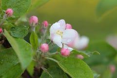 Λουλούδια και οφθαλμοί ενός Apple-δέντρου Στοκ εικόνες με δικαίωμα ελεύθερης χρήσης