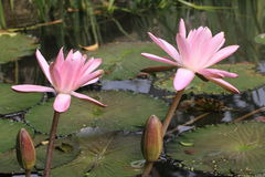 Λουλούδια και οφθαλμοί κρίνων νερού Στοκ εικόνες με δικαίωμα ελεύθερης χρήσης
