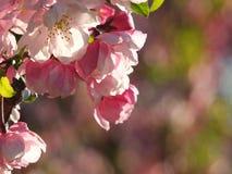 Λουλούδια και οφθαλμοί της Apple που ανθίζουν στην άνοιξη Στοκ εικόνες με δικαίωμα ελεύθερης χρήσης