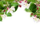 Λουλούδια και οφθαλμοί της Apple Στοκ Εικόνα