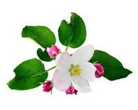 Λουλούδια και οφθαλμοί της Apple Στοκ φωτογραφία με δικαίωμα ελεύθερης χρήσης