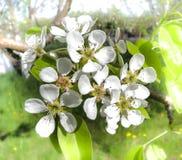 Λουλούδια και οφθαλμοί της Apple Στοκ εικόνα με δικαίωμα ελεύθερης χρήσης