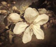 Λουλούδια και οφθαλμοί της Apple Στοκ Φωτογραφίες