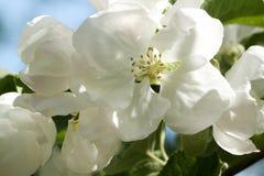 Λουλούδια και οφθαλμοί του Apple-δέντρου με τα κυριώτερα σημεία Στοκ Εικόνες