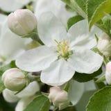 Λουλούδια και οφθαλμοί του Apple-δέντρου Στοκ Εικόνες