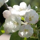 Λουλούδια και οφθαλμοί του Apple-δέντρου Στοκ Φωτογραφία