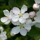 Λουλούδια και οφθαλμοί του Apple-δέντρου Στοκ εικόνες με δικαίωμα ελεύθερης χρήσης