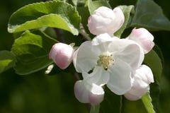 Λουλούδια και οφθαλμοί του Apple-δέντρου Στοκ Εικόνα