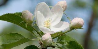 Λουλούδια και οφθαλμοί του Apple-δέντρου Στοκ φωτογραφία με δικαίωμα ελεύθερης χρήσης
