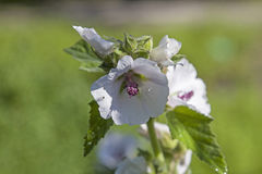 Λουλούδια και οφθαλμοί του oregana Sidalcea Στοκ εικόνα με δικαίωμα ελεύθερης χρήσης