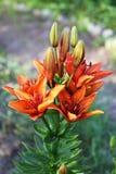 Λουλούδια και οφθαλμοί των κόκκινων κρίνων κήπων Στοκ Φωτογραφία