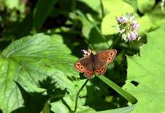 Λουλούδια και πεταλούδα βουνών Στοκ Εικόνες