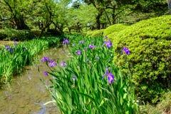 Λουλούδια και ρεύμα της Iris σε έναν ιαπωνικό κήπο σε Kanazawa, Ιαπωνία Στοκ Εικόνες